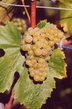 Chardonnay Domaine de Chantegrive