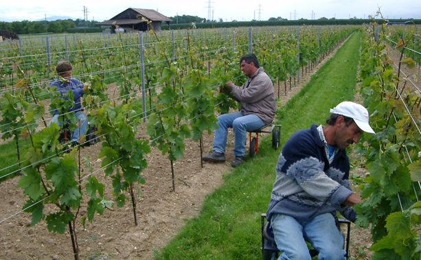 Travaux de la vigne Effeuilles Domaine de Chantegrive