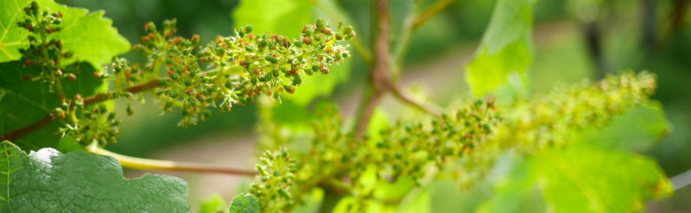 Formation des grappes Domaine de Chantegrive