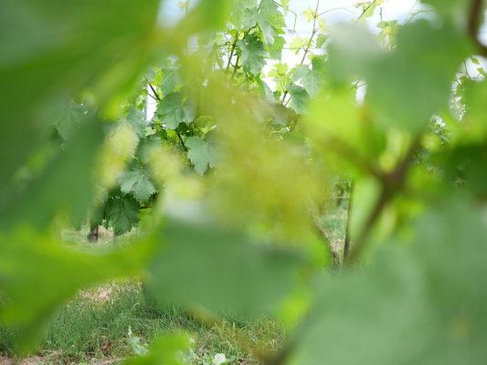 Vignes juin Domaine de Chantegrive